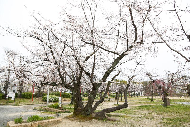 「牧野公園」の桜