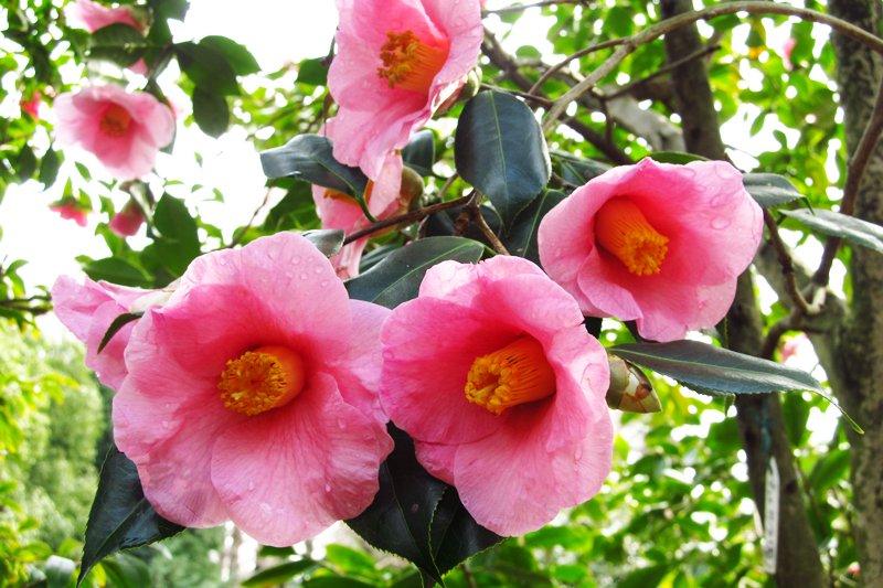 「都市緑化植物園」の椿。約500品種、1,150本が12~4月にかけ次々と開花する。