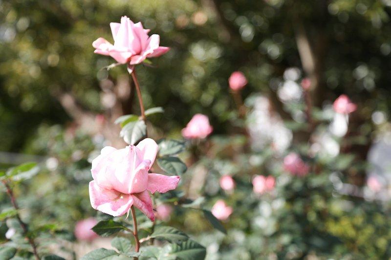 春と秋の年2回、見頃を迎える「平和のバラ園」