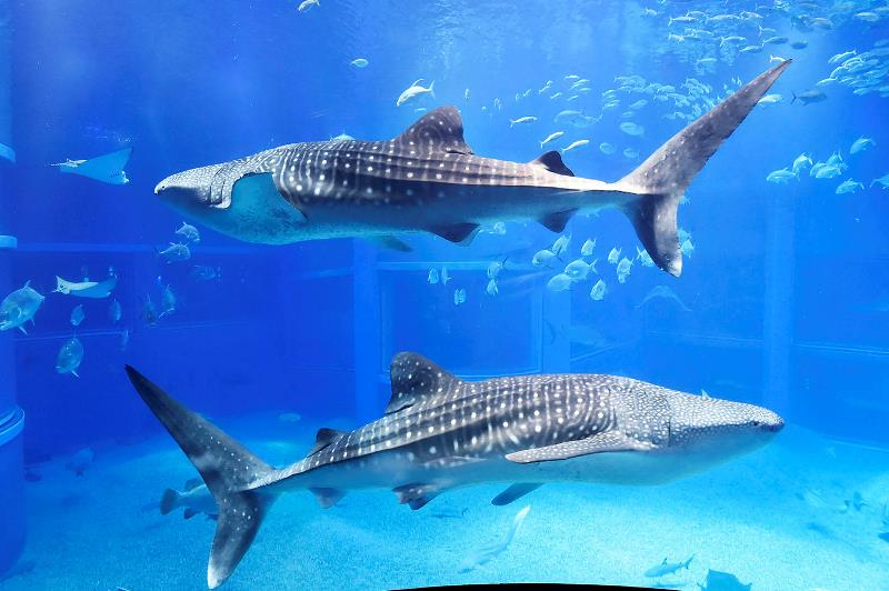ジンベイザメなど様々な海の生き物を楽しめる「海遊館」